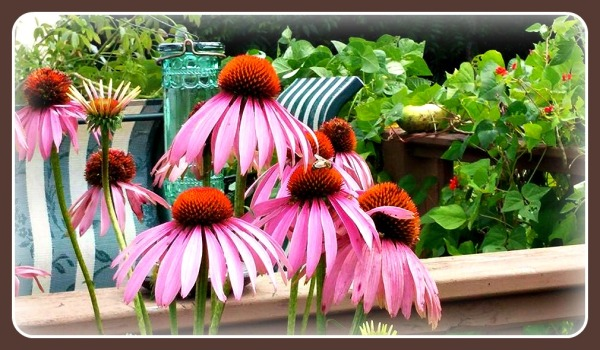 Cone Flowers 1