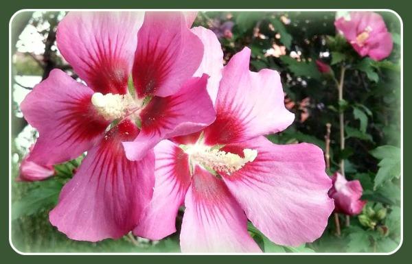 Rose of Sharon 1
