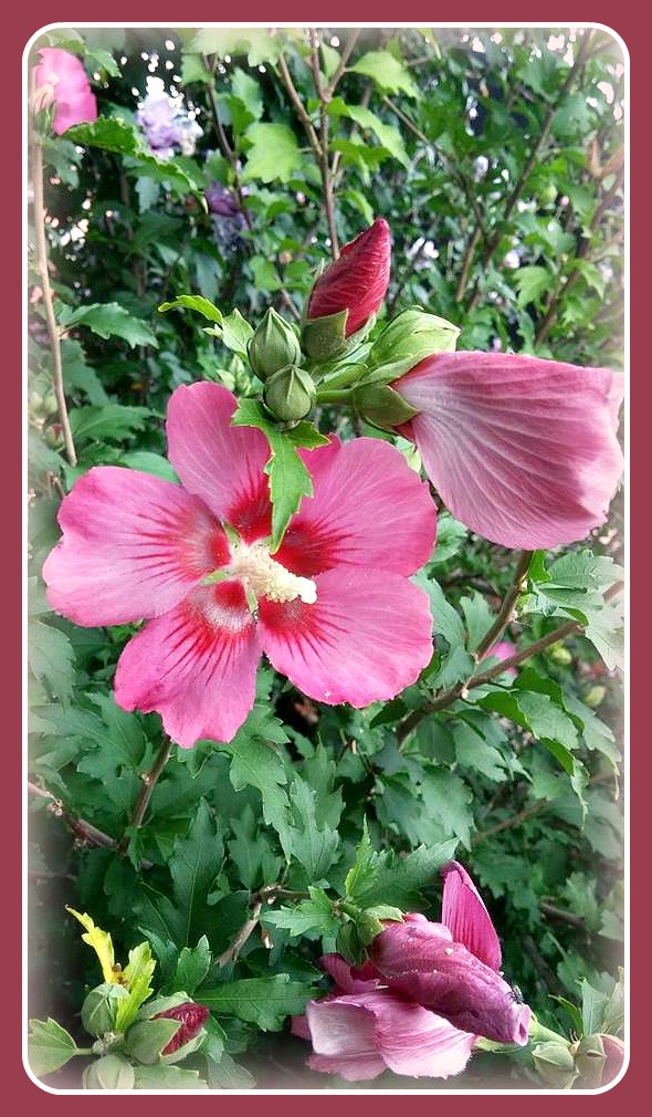 Rose of Sharon Awakening